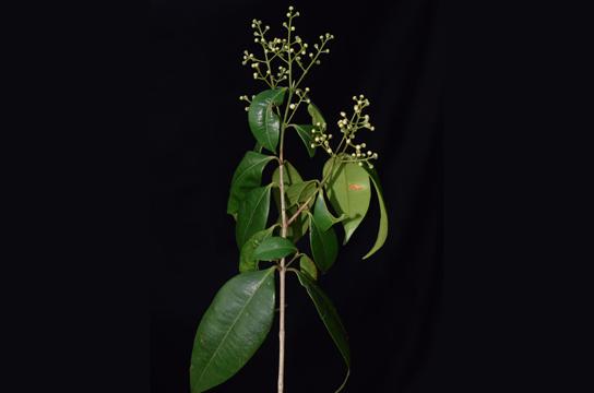 Guamirim (Myrcia splendens, Myrtaceae) registrado na natureza (Foto: Francisco Farroñay/Inpa)