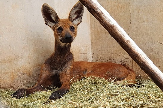 Lobo-guará resgatado está se recuperando de machucados e lesões de pele