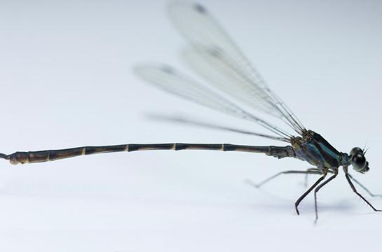 Nova espécie de libélula Heteragrion gorbi sp. nov. (Imagem: Reprodução/Europe PMC)